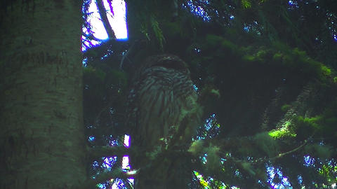 Adult Female Spotted Owl Stock Video Footage