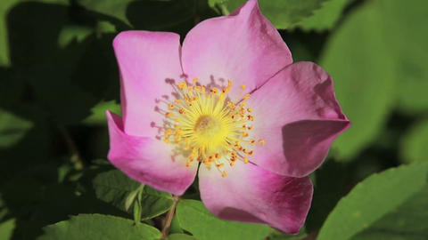 Wild Rose 02 stock footage