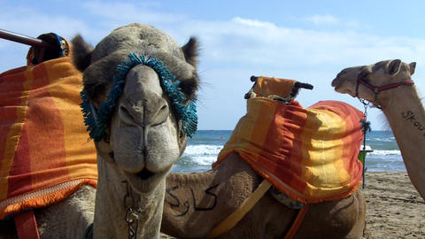 Camel In The Beach , Turist Ride stock footage