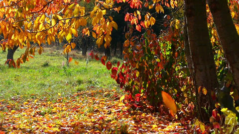Autumn Leaf Fall Footage