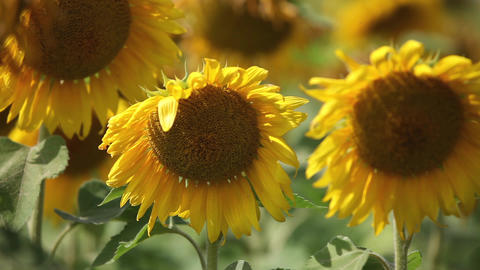 Sunflowers swaying in the wind close to Footage