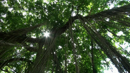 Jungle Trees Overhead Rotation Shot Glimmering Sun stock footage