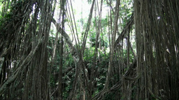 Jungle Trees Tilt Up View With Long Hanging Liana stock footage