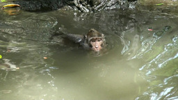 Macaques Swimming In A Water In The Monkey Forest stock footage