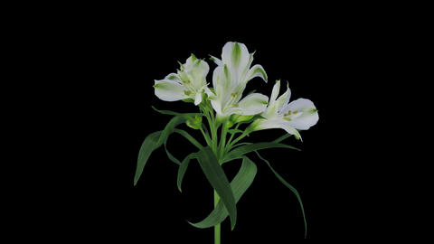 Growing, Opening And Rotating White Peruvian Lily  stock footage