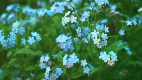 Myosotis blue flowers (forget-me-nots) close up Footage