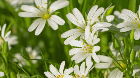 Cerastium flowers (mouse-ear chickweed) on meadow  Footage