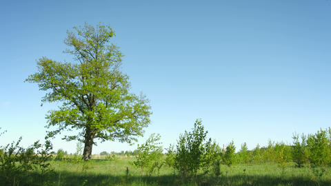 Lonely tree on a summer meadow. Grass and oak on a Footage