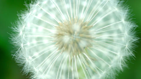 Fluffy dandelion seeds macro with blur Footage
