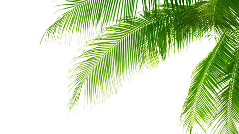 Palm leaves isolated on white background. Good mat Footage