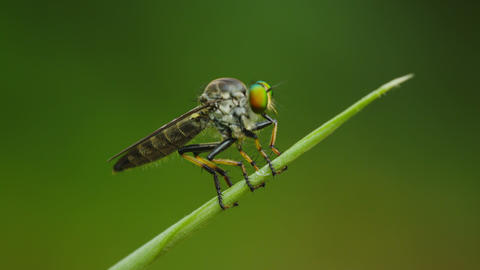 Video UltraHD - Asilidae (robber fly) sits on a bl Footage