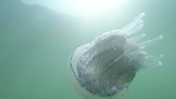Medusa jellyfish closeup slowly floats in sea wate Footage