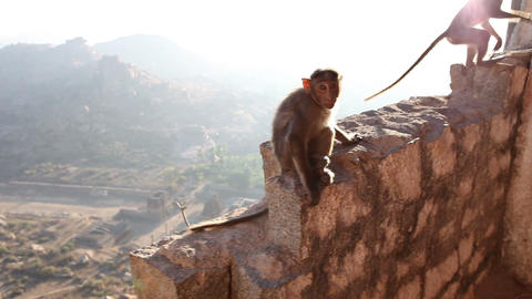 Monkey Sitting On A Stone Wall stock footage