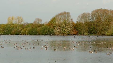 very large flock of greylag geese taking off Footage