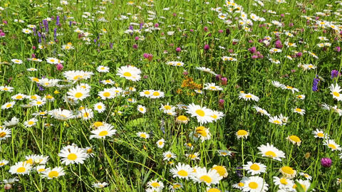 summer meadow with daisies - slider dolly shot Footage