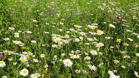 summer meadow with daisies Footage