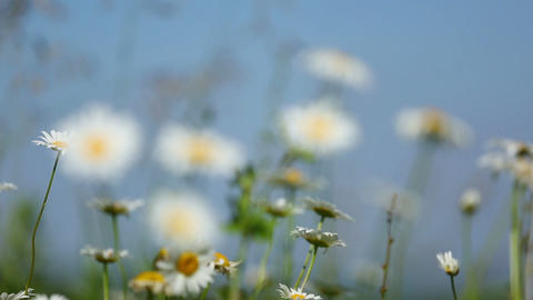 daisies on a meadow under blue sky - rack focus Footage