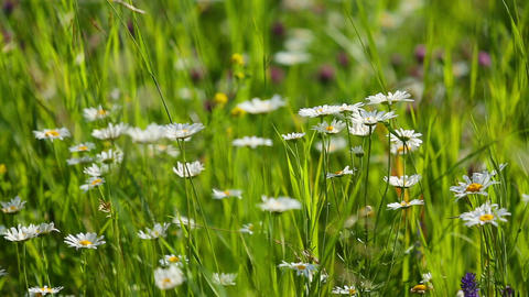 daisies on a meadow - shot with shallow DOF Footage
