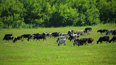 large herd of cows on pasture Footage