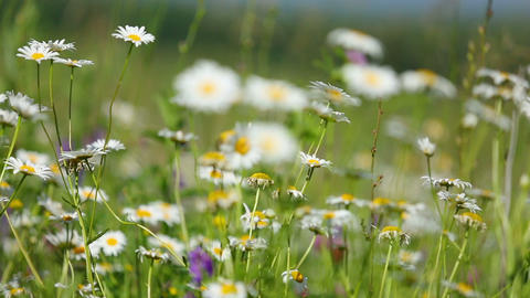 daisies on a meadow - rack focus Footage