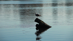 Lonely Gray Gull stock footage