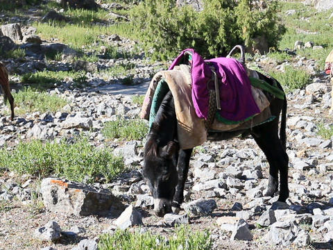 Donkey under saddle. Tajikistan. 640x480 Footage