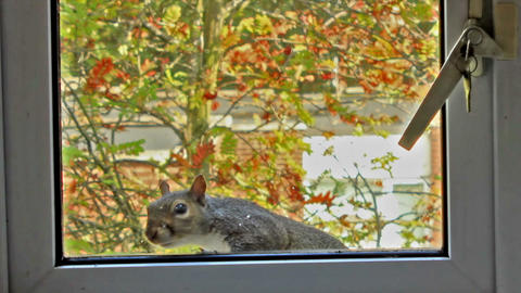 Curious, gray squirrel looking through the window Live Action