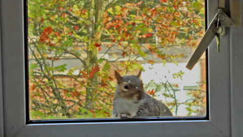 Curious, gray squirrel looking through the window  Footage