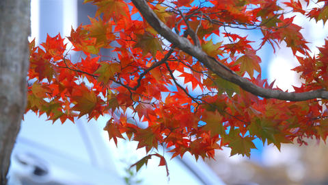UHD RGB4:4:4 X264 紅葉 Autumn Japan stock footage
