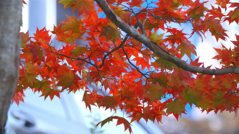 2160p (12bit RGB4:4:4) 紅葉 autumn Japan Stock Video Footage