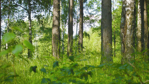 Mixed forest. Pines and birches. Panoramic shot Footage