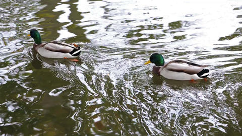 Wild Ducks Swimming On The River stock footage