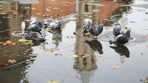 Grey Doves Near Fountain, Townhall Reflection And  stock footage