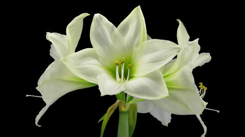 Growing and rotating white amaryllis Christmas flo