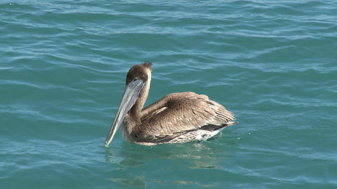 Wild Brown Pelican (Pelecanus Occidentalis) stock footage