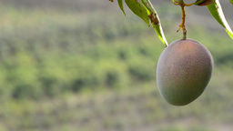 Mango Fruit Hanging With Fields At Background stock footage