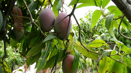 Collecting Mango Fruit Manually 15 stock footage