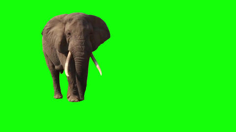 African Elephant, Close Up. Green screen Footage