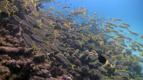shoal of yellow fish on the coral reef Stock Video Footage