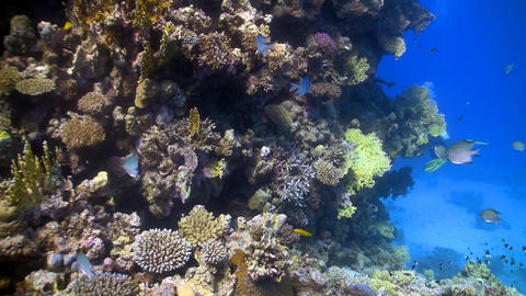 coral reef fish Live Action