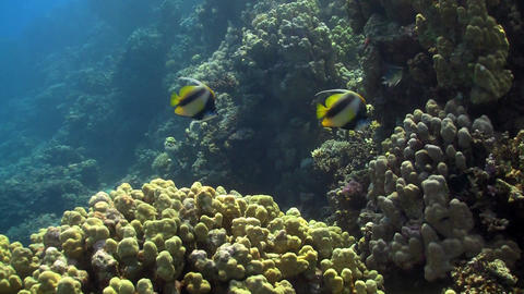 Red sea bannerfish Stock Video Footage