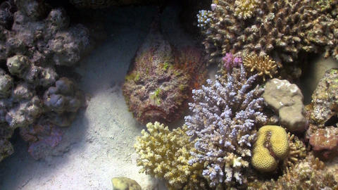 Stone fish on coral reef Stock Video Footage