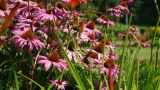 Butterfly Over The Field Of Echinacea stock footage