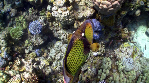 Titan triggerfish on coral reef Stock Video Footage