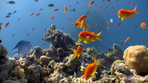 colorful fish on coral reef Footage