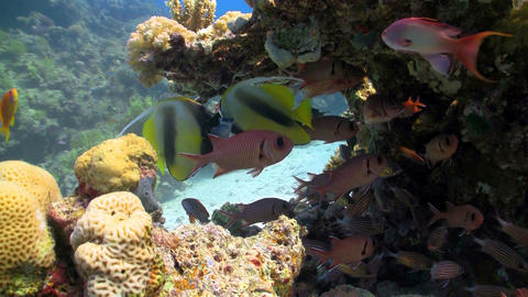 bannerfish on coral reef Footage