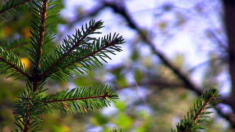 spruce twig with webs Stock Video Footage