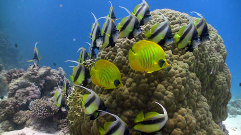 bannerfish on coral reef Stock Video Footage