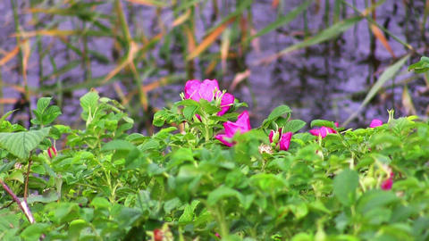dog-rose in the wind on the water Footage