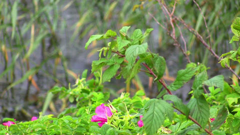 dog-rose in the wind on the water Stock Video Footage